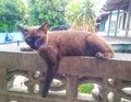 Thai siamese cat stares Royalty Free Stock Photo