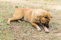 thai stray dog in dry grass Royalty Free Stock Photo