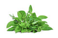 Thai sweet basil leaves  on white Royalty Free Stock Photo