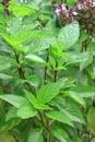 Thai sweet basil plant in the garden Royalty Free Stock Photo