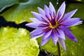 Thai violet lotus Royalty Free Stock Photography