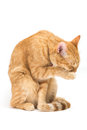 Thai yellow cat cleaning it s body with it s tongue isolated on white background Stock Image