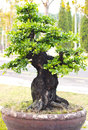 Thailand bonsai trees beautifuls Stock Photos