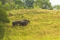 Thailand elephant eat a lot of deals together in the rainy season khao yai national park Royalty Free Stock Photos