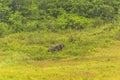 Thailand elephant eat a lot of deals together in the rainy season khao yai national park Royalty Free Stock Image
