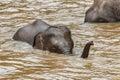 Thailand,Elephant ,Thailand elephant conservation centre. Royalty Free Stock Photo