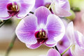 Thailand orchids Royalty Free Stock Photo