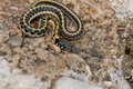 Thamnophis cyrtopsis Royalty Free Stock Photo
