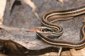 Thamnophis proximus proximus Royalty Free Stock Images