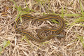 Thamnophis sirtalis the common garter snake is an indigenous north american snake found widely across the continent most garter Royalty Free Stock Images