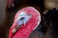 Thanksgiving Turkey Tom Close ...