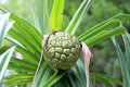 Thatch screwpine pandanus odoratissimus in japan Stock Photos