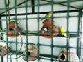There are couple of lovebirds in its cage Royalty Free Stock Photo
