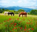 There horses grazing grass in the field with mountains on background and poppy fields on foreground Stock Images