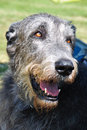 There is a smile on his face portrait of an irish wolfhound with smiling Stock Images