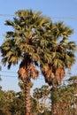 Two sugar palm trees