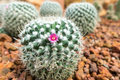 Thermal plants cactus plant group growth in the desert