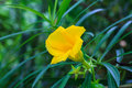 Thevetia peruviana or yellow oleander in the garden Royalty Free Stock Photography