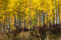 Thick Aspen Forest in Fall Stock Photos