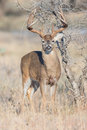 Thick big beamed whitetail buck standing at alert Royalty Free Stock Photo