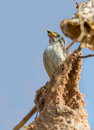Thick billed flower pecker baby in the nest Stock Images
