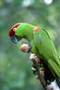 Thick-billed Parrot Royalty Free Stock Photo