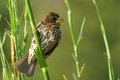 Thick billed weaver amblyospiza albifrons in kruger national park south africa Royalty Free Stock Photo