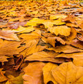 Thick blanket of golden yellow autumn leaves Royalty Free Stock Photo