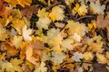Thick carpet of fallen maple leaves. Bright yellow maple leaves on the ground, close-up. Background concept Royalty Free Stock Photo