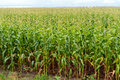 Thick endless green field of high corn Royalty Free Stock Photo