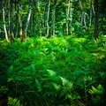 Thick fern Royalty Free Stock Images
