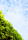 Thick green hedge & sky Stock Photos