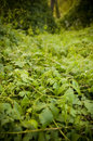 Thick Jungle Creepers Stock Photography