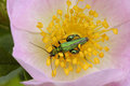 Thick-legged Flower Beetle Royalty Free Stock Photo