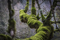 THICK MOSS ON TREE BRANCH Royalty Free Stock Photo