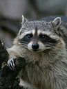Thick raccoon. Royalty Free Stock Photo