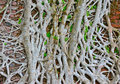 Thick roots and old wall close up of covering Royalty Free Stock Photos