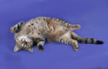 Thick striped cat lying on her back on blue Royalty Free Stock Photo