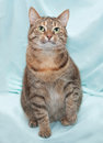 Thick tricolor striped cat sitting on green background Royalty Free Stock Photos