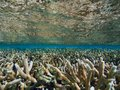 Thicket of staghorn coral near the surface of the sea, Bonaire, Dutch Antilles. Royalty Free Stock Photo