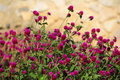 Thickets of red clover Royalty Free Stock Photography