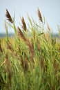 Thickets of reeds on Maryland Eastern Shore near Rock Hall, MD Royalty Free Stock Photo