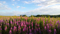 Thickets of willow-herb in a large field. In the background behind the flowers Ivan-tea forest views