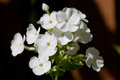 Thickleaf Phlox Stockbild