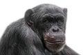 Thinking chimpanzee portrait isolated on white background Royalty Free Stock Photo