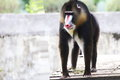 Thinking of jumping into another world a mandrill taking a leap brighter Stock Photo