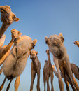 Thirst thirsty camels congregate attracted by smell of the water in the desert Stock Photos
