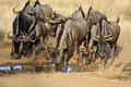 Thirsty bluewildebeest herd of quenching thirst at desert waterhole Stock Image