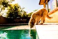 Thirsty dog a very golden doodle Royalty Free Stock Photos