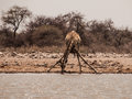 Thirsty giraffe drinking from waterhole etosha national park namibia Stock Photo